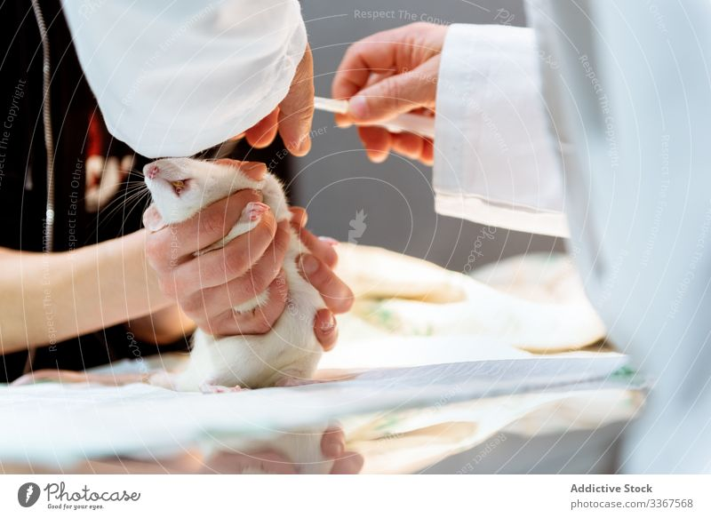 Veterinarian making injection for rat veterinarian pet animal medical doctor syringe hands veterinary treating care clinic hospital health sick specialist ill