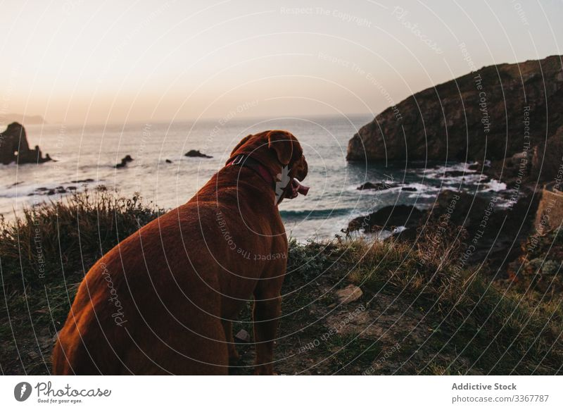 Brown Mastiff dog on cliff against calm sea waves and rocky shore in evening water mastiff pet alone hill bay coast spain tranquil sunset interest