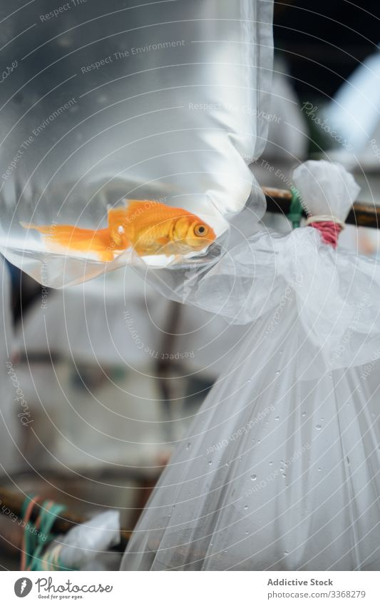 Goldfish in plastic bag in market stall aquarium catch purchase buy pet sell marketplace animal gold ecology package goldfish small transparent carp water bowl