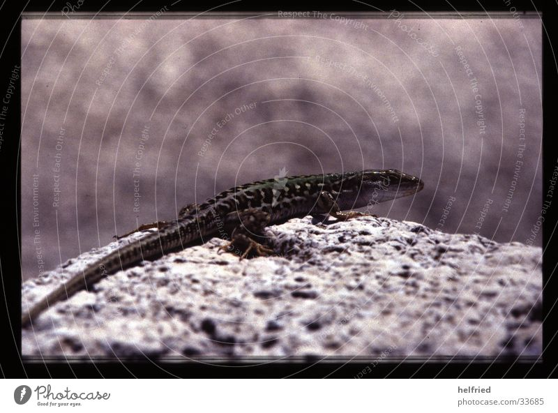 lizard Animal Lizards Nature Sun Stone Rock