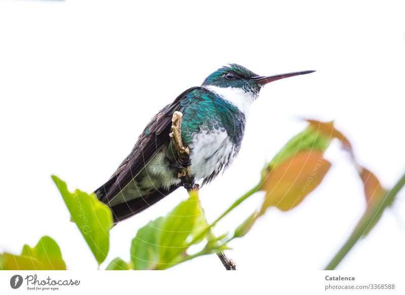 A watchful hummingbird sits on a branch and overlooks its territory Twig Central perspective Full-length Animal portrait Day Shallow depth of field Deserted