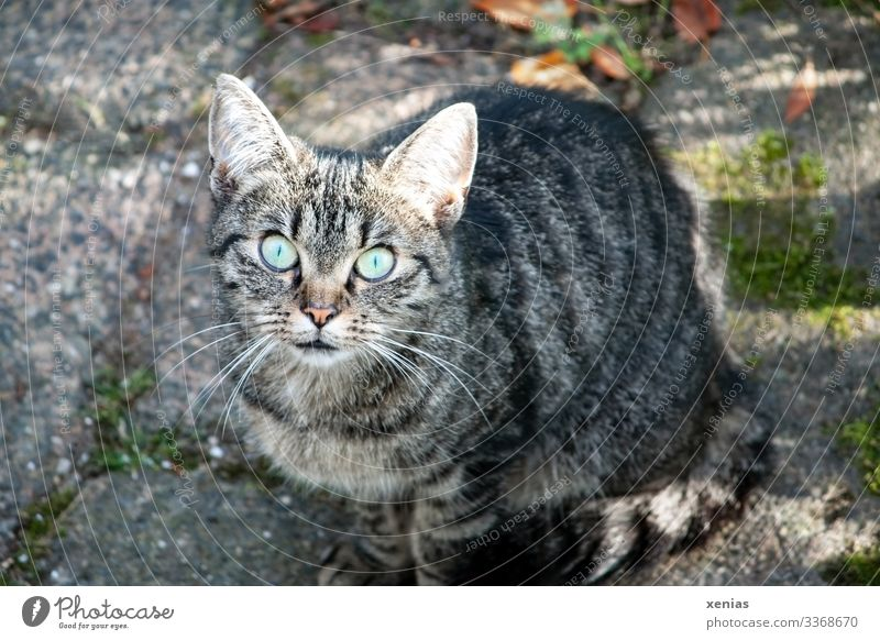 Cat looks into the camera with green eyes Living or residing Animal Pet Animal face 1 Crouch Looking Sit Curiosity Gray Green Watchfulness Interest Emotions