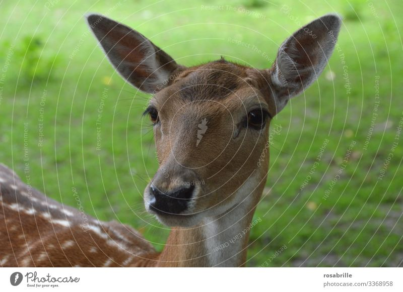 a tame deer pricks up its big ears, because it hears a soft   noise Roe deer Listening Noises eavesdrop vigilantly Watchfulness Animal Wild animal