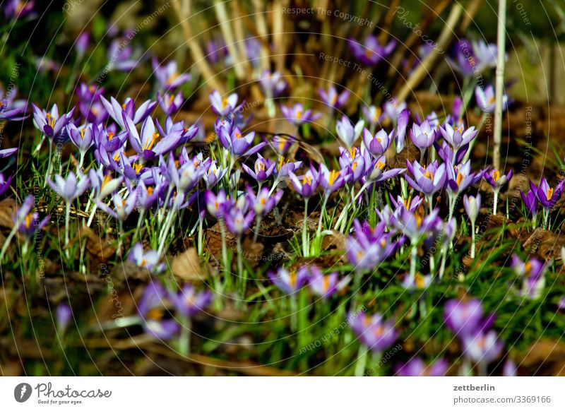 Crocus sativus Flower Blossoming Garden Grass Garden plot Deserted Nature Plant Lawn Calm Copy Space Depth of field Meadow Spring flowering plant