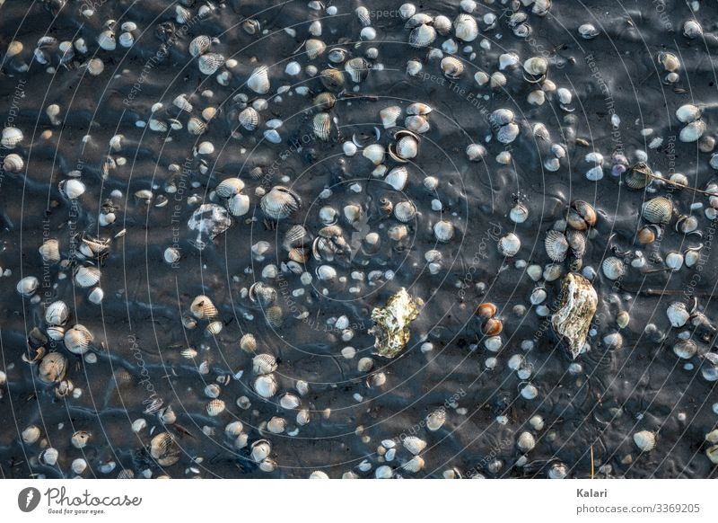 Mussels in the mud in the Wadden Sea from above at low tide seashells Slick Low tide Mud flats North Sea watt Bird's-eye view Walk along the tideland Tideway