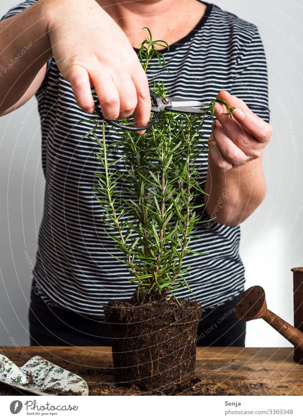 Woman cutting fresh rosemary plant on a wooden table Food Herbs and spices Rosemary Nutrition Organic produce Vegetarian diet Lifestyle Healthy Healthy Eating