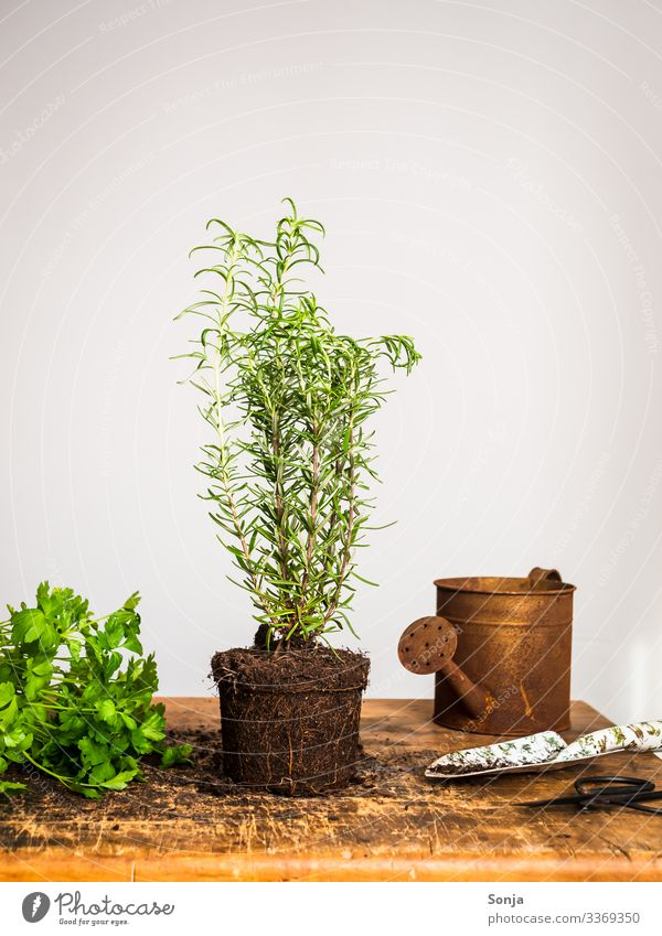 Fresh rosemary plant on a wooden table Food Herbs and spices Rosemary Parsley Nutrition Organic produce Agricultural crop Watering can Rust Fragrance Healthy