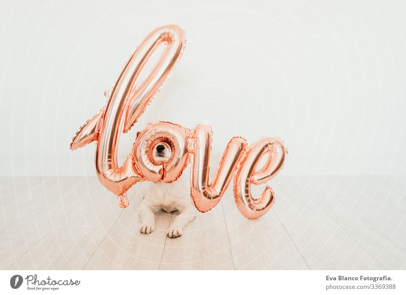 portrait of cute small jack russell dog at home with a LOVE balloon on snout. Valentines concept love valentines february 14 indoors beautiful white brown
