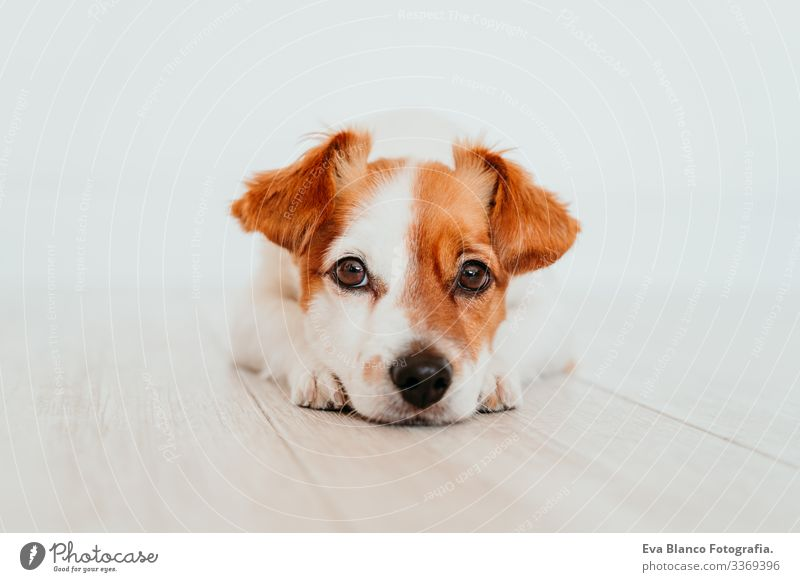 portrait of cute small jack russell dog lying on the floor. Adorable dog at home indoors beautiful white brown copy space obedient intelligence pet studio