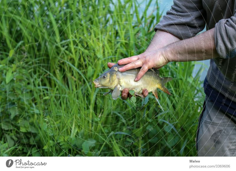 Fischer shows a caught fish Animal Bait Camping Carp Set of teeth Fish Fisherman Fishing (Angle) Fresh Freshwater Grass Hand Leisure and hobbies Checkmark