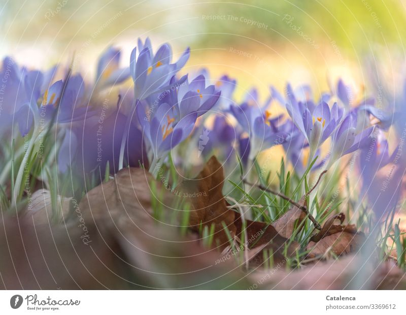 Spring very soon Nature Plant Beautiful weather Flower Grass Leaf Blossom Crocus foliage Garden Park Meadow Blossoming Faded Brown Gold Green Violet Orange