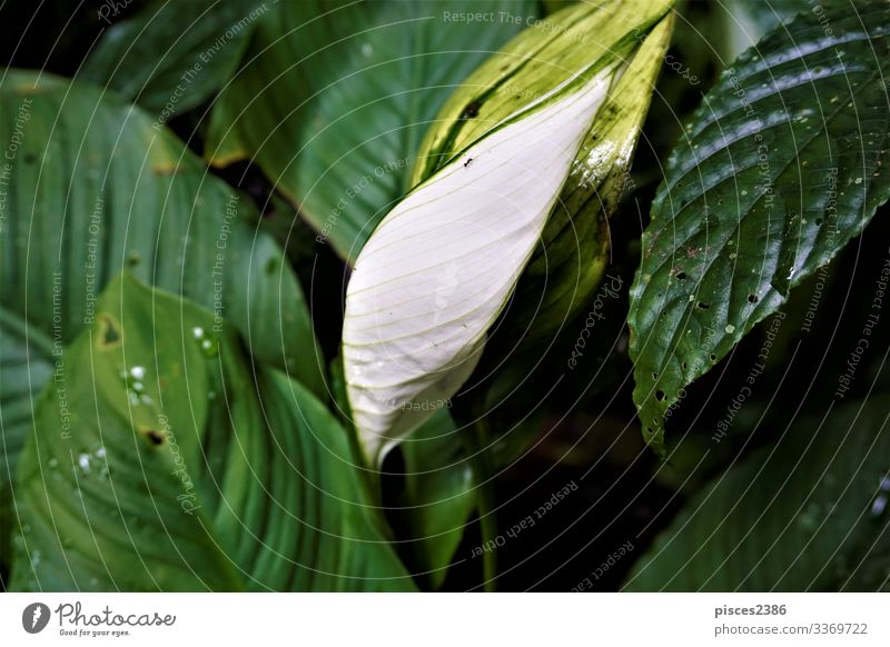 White Anthurium leaf spotted in the Curi-Cancha Reserve Summer Nature Plant Yellow organic Planning Orange nutrition natural ripe season white vegetable sweet