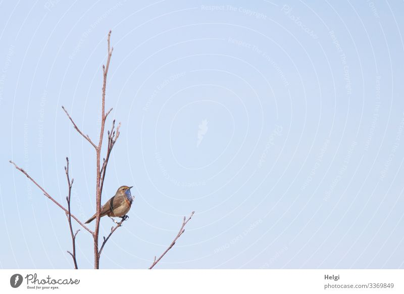 Bluethroat sitting on a bare branch in front of a blue sky Tree Twig Animal Wild animal Bird 1 To hold on Looking Stand Exceptional Uniqueness Small Natural
