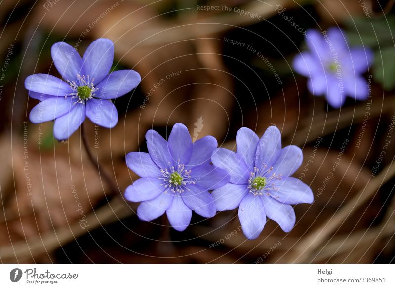 purple liverwort on the forest floor from the bird's eye view Environment Nature Plant Spring Beautiful weather Flower Blossom Hepatica nobilis Forest