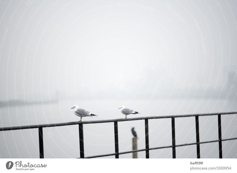 Seagulls in the fog Water Climate Bad weather Fog Harbour Bird Gull birds 2 Animal Handrail Observe Crouch Sit Stand Wait Simple Together Cold Wet Relationship