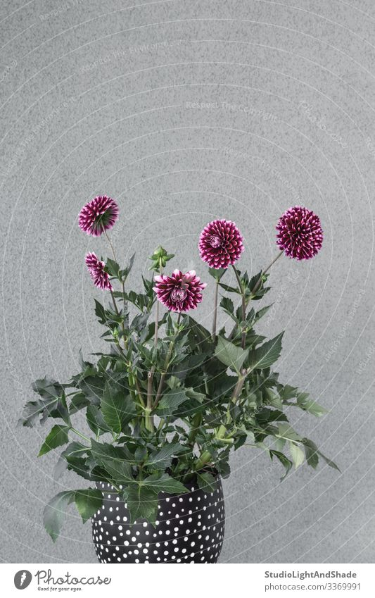 Purple dahlia flowers in a flowerpot Pot Design Beautiful Garden Gardening Nature Plant Flower Blossom Blossoming Growth Gray Green Red Black Colour Dahlia
