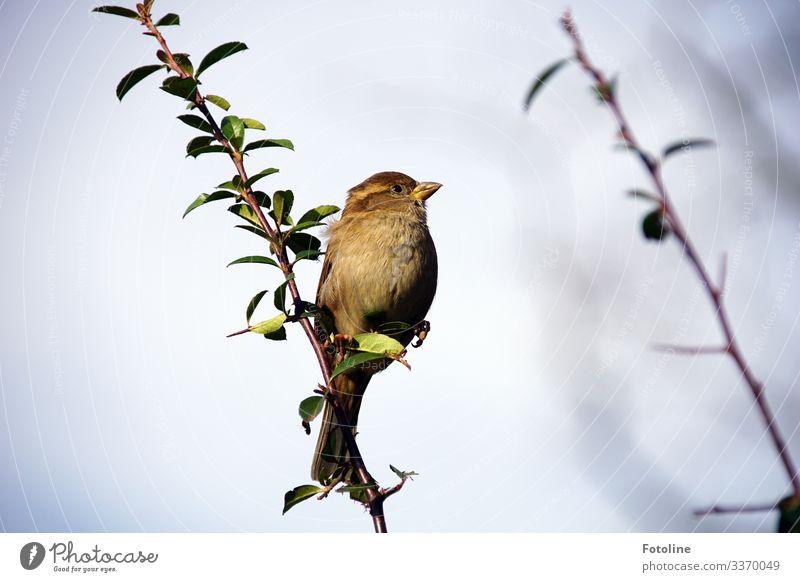 Lesser Sparrow Environment Nature Plant Animal Sky Cloudless sky Bushes Garden Wild animal Bird 1 Bright Small Near Natural Brown Green Branch Twig Colour photo