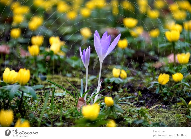 crocuses Environment Nature Landscape Plant Elements Earth Sand Spring Beautiful weather Flower Blossom Garden Park Bright Small Near Natural Yellow Green