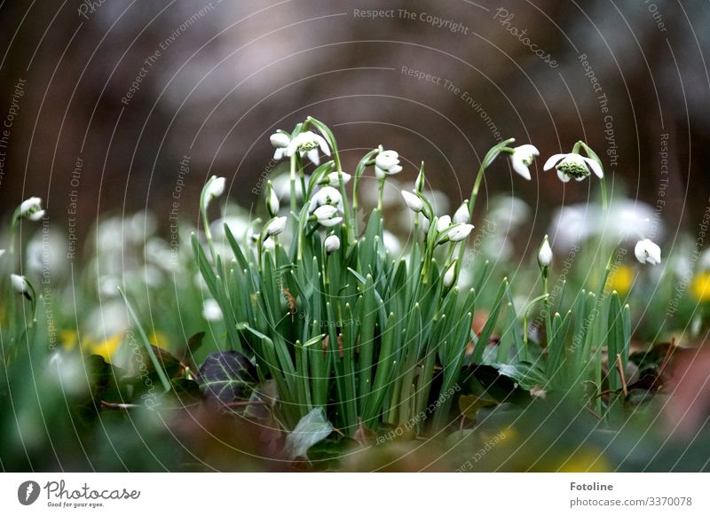 flowering snowdrops on a meadow on a cold day in February Environment Nature Landscape Plant Elements Earth Spring Beautiful weather Flower Ivy Blossom Garden