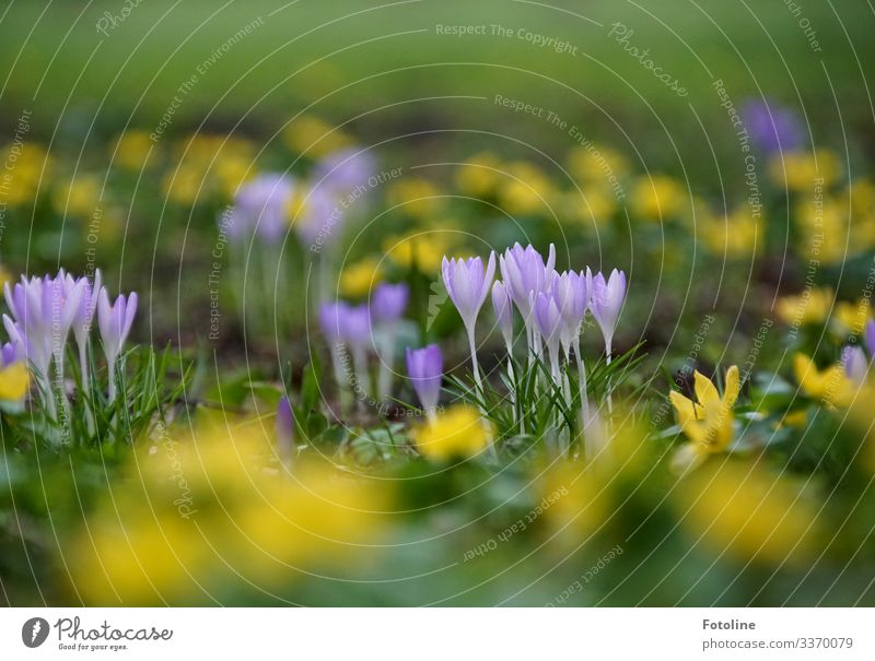 spring meadow Environment Nature Landscape Plant Elements Earth Spring Flower Blossom Garden Park Meadow Near Natural Yellow Green Violet Spring flowering plant