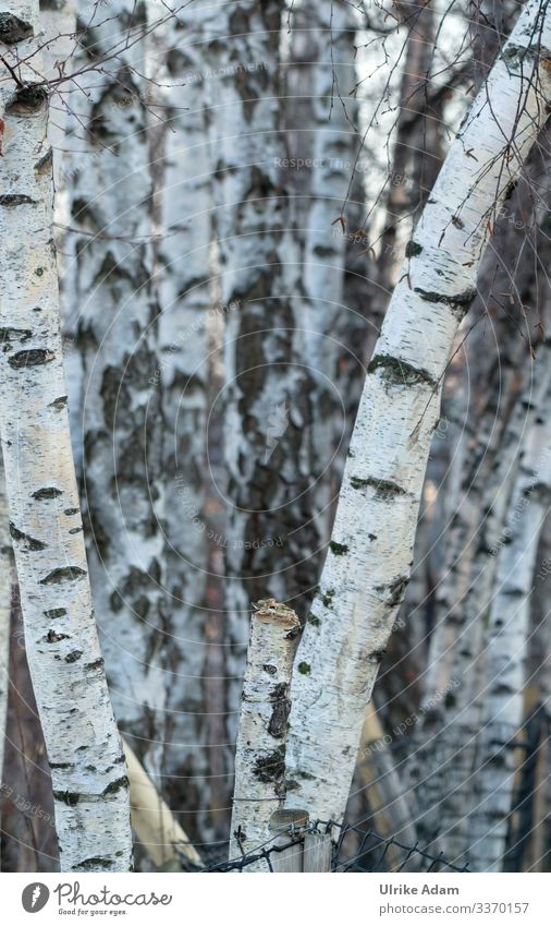 In the birch forest birches bark Birch bark Birch wood tree tree trunks birch trunks White Black Nature Birch tree Exterior shot Forest Deserted Plant Landscape