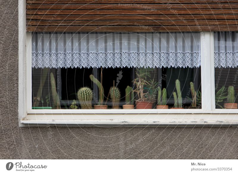 Cacti on the windowsill Cactus cactus plant Plant Window Living or residing Curtain House (Residential Structure) Flat (apartment) Drape Decoration Window board