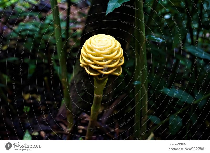 Yellow blossom of behive ginger spotted in the Secret Gardens Plant pasta raw nutrition meal Italy Macaroni spiral texture zingiber spectacle white wheat