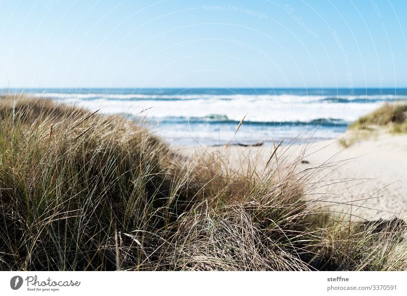 Dune grass with sea in the background Nature Landscape Beautiful weather Beach dune Sand Ocean Vacation & Travel Marram grass Oregon Subdued colour