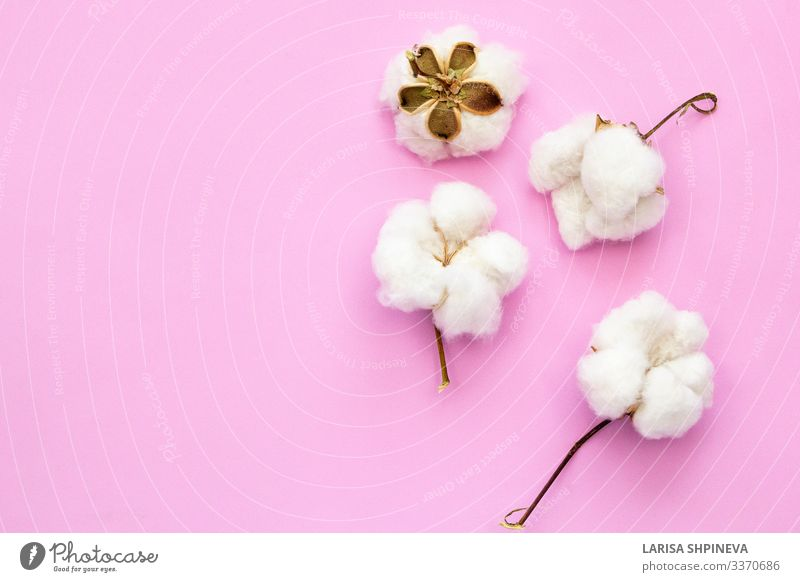 Natural cotton flowers on pink background Plate Allergy Decoration Nature Plant Flower Blossom Fashion Cleaning Growth Soft Brown Pink White Pure Cotton fiber