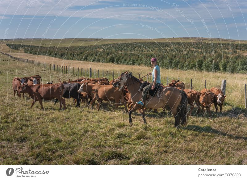 Female rider stops a gathered herd of cows from breaking free daylight Day Beautiful weather Grass Clouds Sky Horizon Cow Farm animal Animal Nature Landscape