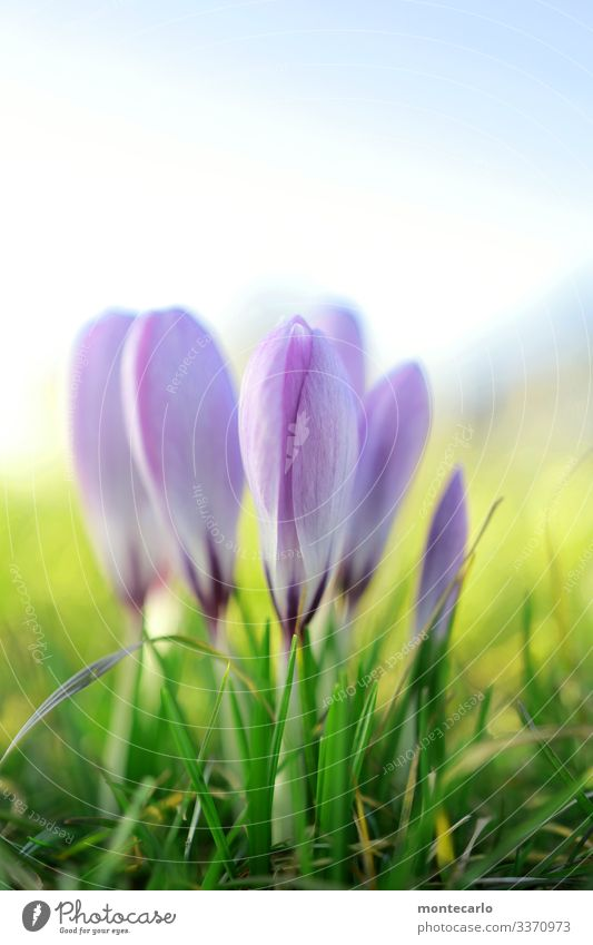 ... oh, and another one Environment Nature Plant Spring Beautiful weather Flower Grass Leaf Foliage plant Wild plant Crocus Fragrance Thin Authentic Small Near