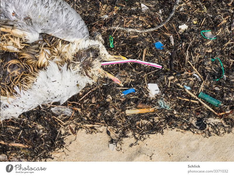 Death from plastic waste Beach Ocean Environment Nature Animal Coast Wild animal Dead animal Bird Seagull 1 Plastic packaging Dirty Disgust Creepy Hideous