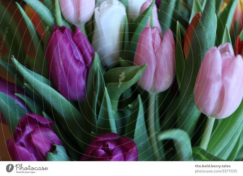 Tulips purple-pink Plant Flower Blossom Friendliness Happiness Fresh Beautiful Green Violet Pink Optimism Life Colour Joy Colour photo Multicoloured