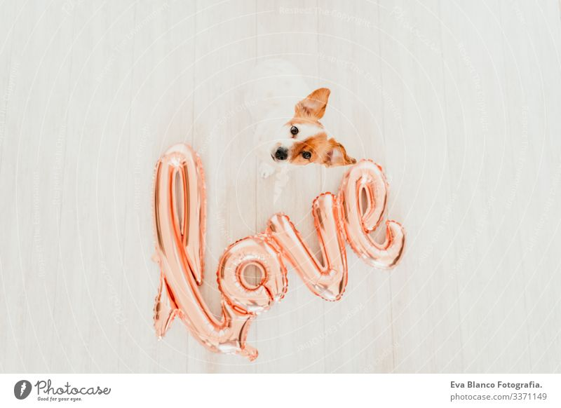 portrait of cute small jack russell dog at home with a LOVE balloon besides. Valentines concept love valentines february 14 snout indoors beautiful white brown