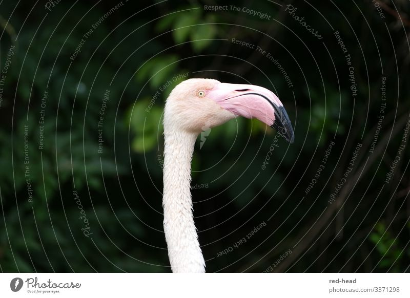 Light pink flamingo (head and neck) in profile against a dark green background, looking to the right Flamingo Observe Nature Animal Park Bird Animal face Zoo 1