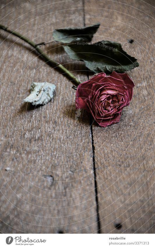 dead | single withered red rose pink transient Loving relationship Love Lovesickness Divorce Divide quarrel marital quarrel marital row relationship crisis