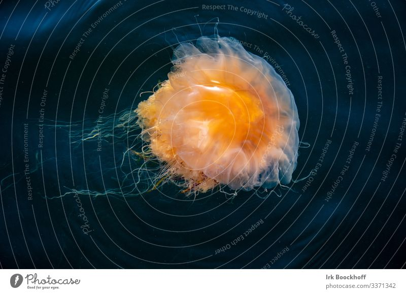 beautiful and dangerous fire jellyfish in the Baltic Sea Vacation & Travel Tourism Summer Summer vacation Beach Ocean Island Swimming & Bathing Dive Environment