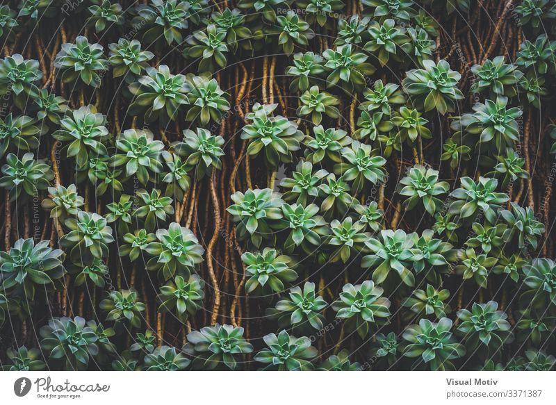 Sedum Palmeri Succulent plants Exotic Beautiful Life Calm Garden Environment Nature Plant Leaf Park Growth Simple Fresh Natural Green Colour outdoor photography