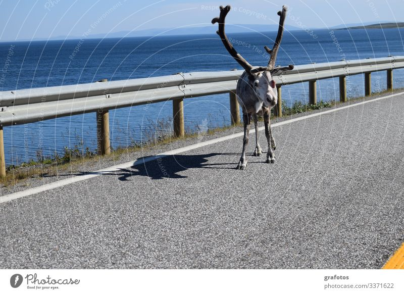 Hello Reindeer Lifestyle Style Vacation & Travel Tourism Trip Adventure Summer Ocean Animal 1 Hang Looking Funny Curiosity Blue Yellow Gray Colour photo