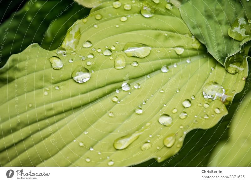 Raindrops on a green leaf Nature Animal Summer Plant flaked Foliage plant Water Glittering Reflection raindrops Colour photo Exterior shot Detail Pattern
