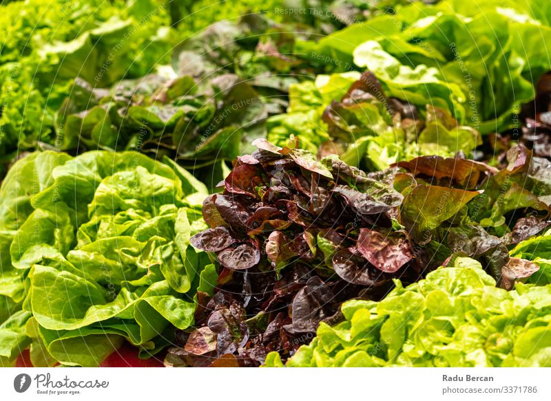 Fresh Green Healthy And Organic Salad In Vegetable Market Markets Ingredients Diet Raw Produce Harvest Shopping Cabbage Verdant Culinary salad mix salad greens