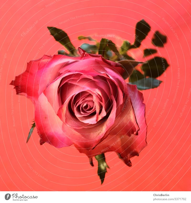 rose Plant flowers pink bleed Esthetic Exceptional Pink Red Love Luxury Perspective Interesting Colour photo Interior shot Detail Artificial light Romance
