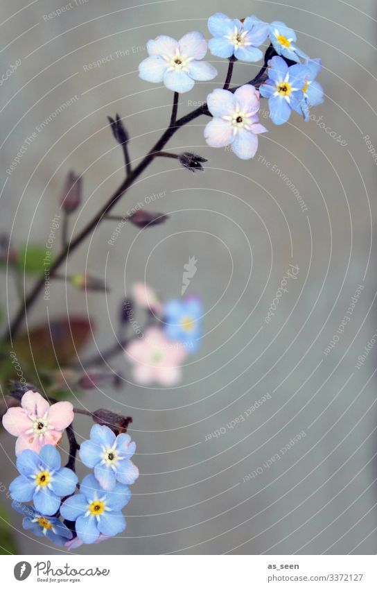 Don't forget mine Forget-me-not forget-me-not flower Spring Plant Colour photo Nature Blossoming Flower Blue Exterior shot Deserted Summer Beautiful Blur
