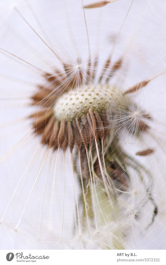 Dandelion close up macro dandelion buttercup empty Nature Plant Spring Summer Exterior shot Close-up Day Flower Seed aviator Ease Easy Flying Distribute Wind