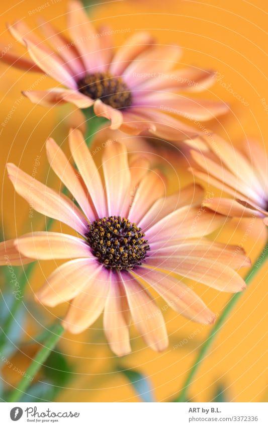 Gerbera in orange lifts the spirits Flower flowers Blossom blossoms Orange Beauty & Beauty Delicate Modern flower photo gerberafoto gerberabild dwell Garden