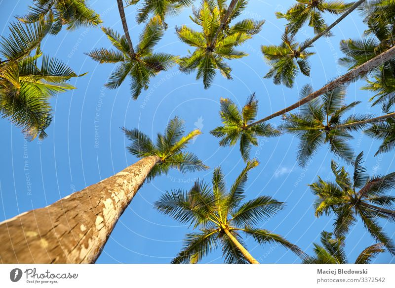 Looking up at coconut palm trees. Exotic Vacation & Travel Tourism Trip Adventure Expedition Summer Summer vacation Island Nature Plant Sky Tree Leaf Wild plant
