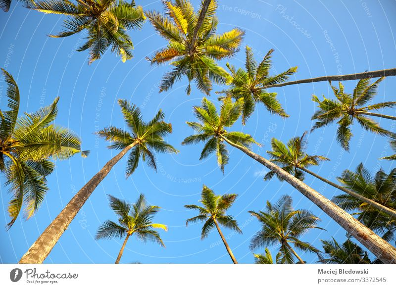 Looking up at coconut palm trees. Exotic Vacation & Travel Tourism Trip Adventure Expedition Summer Summer vacation Island Nature Plant Sky Tree Leaf Blue Green