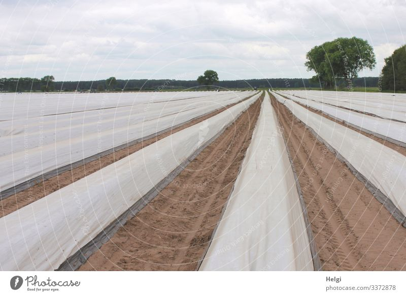 rows covered with foil on an asparagus field Asparagus field Agriculture Asparagus cultivation Row Packing film Field Exterior shot Colour photo Landscape
