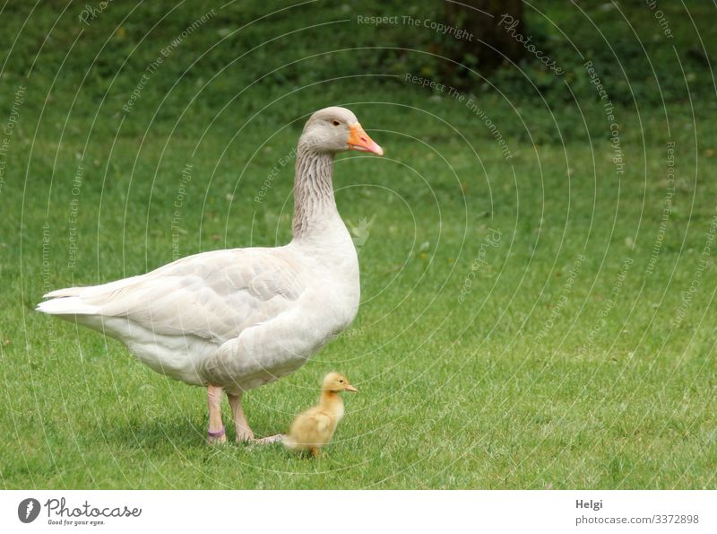a goose stands with its tiny chick in the meadow Goose Bird Chick Gosling Animal young animal Nature Agriculture Grass Exterior shot Deserted Meadow
