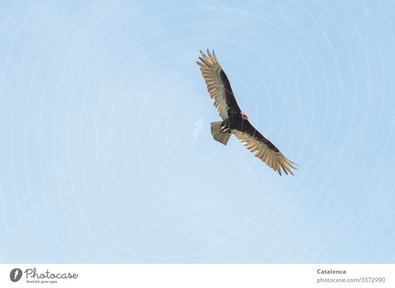 Nature Summer Blue Animal Far-off places Black Natural Bird Gray Flying Wild animal Power Observe Cloudless sky Surveillance Vulture